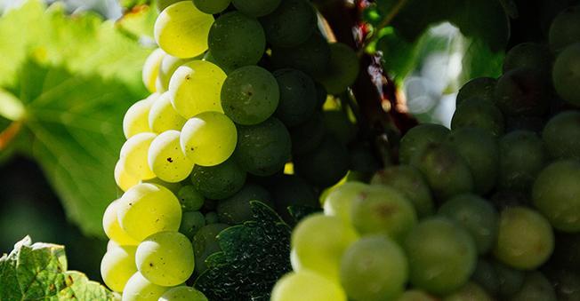 Antipodes_Vinanza_Grape
